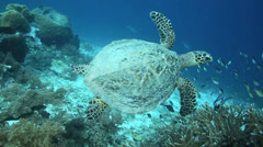 Hawksbill sea turtle swimming underwater over coral reef - stock footage