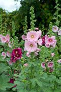 Hollyhock flower Stock Photos