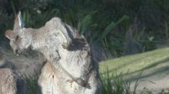 Kangaroo scratching Stock Footage