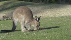 Young kangaroo grazing Stock Footage
