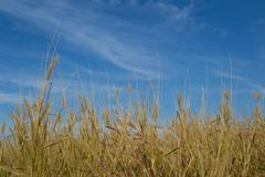 Stock Photo of barnyard grass and blue sky