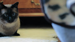 cat siamese - stock footage