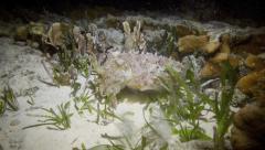 Cuttlefish at night underwater Stock Footage