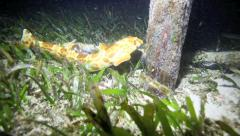 Nocturnal walking epaulette shark swimming and walking at night - stock footage