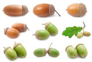 Stock Illustration of Acorns