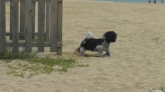 Cute Dog Beach Cover Up Caught in the act Stock Footage