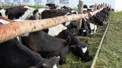 cow in a stable - stock footage