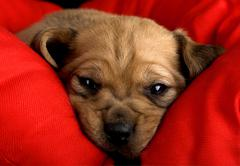 sadness puppy - stock photo