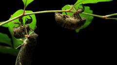 Greengrocer Cicada - Cicadinae australasiae 6 Stock Footage
