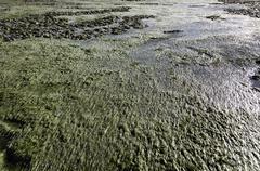 zostera tidal flat - stock photo
