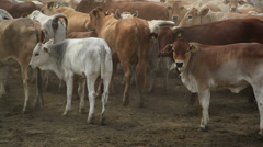 Cows on the farm 8 Stock Footage