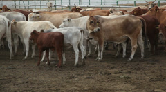 Cows on the farm 6 Stock Footage