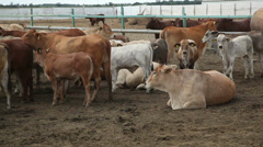 Cows on the farm 4 Stock Footage