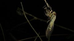 Cicada Enclosing - Cicadinae australasiae 2 Stock Footage