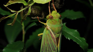 Stock Video Footage of Cicada Enclosing - Cicadinae australasiae 16