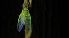 Cicada Enclosing  - Cicadinae australasiae Stock Footage