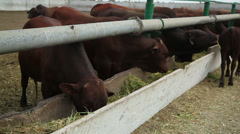 Cows on the farm 2 Stock Footage