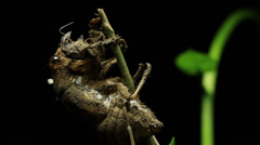 Shell of a Greengrocer Cicada Stock Footage