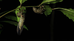 Cicada Enclosing - Cicadinae australasiae 4 Stock Footage
