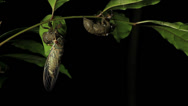 Stock Video Footage of Cicada Enclosing - Cicadinae australasiae 4