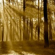 The sun's rays breaking through the trees in the pine forest in autumn. sepia Stock Photos