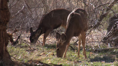 Mule Deer in Zion National Park, Utah - stock footage
