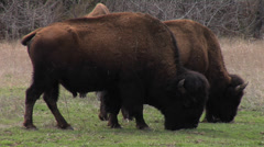Plains Bison 4 American Buffalo, Wichita WR-Oklahoma Stock Footage
