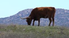 Wild Texas Longhorn Cattle on the Range - Oklahoma 2 Stock Footage