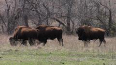 Plains Bison 1 American Buffalo, Wichita WR-Oklahoma Stock Footage