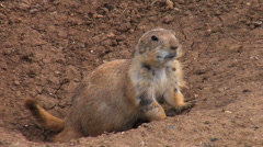 Black-tailed Prairie Dog 1- Wichita Mountains W. R. Stock Footage