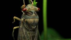 Cicada Enclosing - Cicadinae australasiae 12 Stock Footage