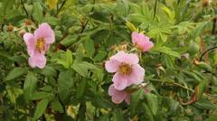 wild rose bush - stock footage