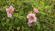 Stock Video Footage of wild rose bush
