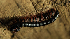 Millipede Mating 4 Stock Footage