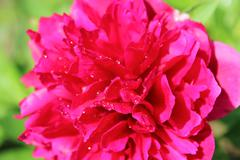 Pink flower of peony Stock Photos
