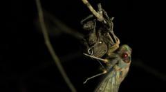Cicada Enclosing - Cicadinae australasiae 3 Stock Footage