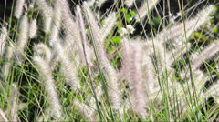Ornamental grasses soak up the autumn sunshine. Pennisetum alopecuroides Stock Footage