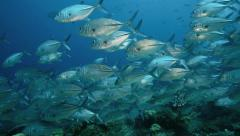 School of bluefin trevally Stock Footage