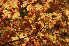 orange autumn leaf canopy - stock photo