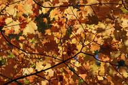 Stock Photo of orange autumn leaf canopy