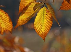 Back lit Beech Tree Leaves Stock Photos