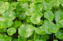 centella asiatica - stock photo