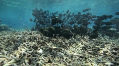 School of unicorn fish grazing on shallow coral reef Stock Footage