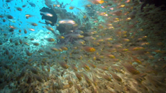 Shoal of Pygmy Sweeper fish on coral reef Stock Footage