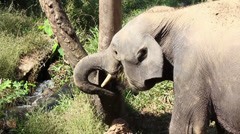 Elephant tear off tree bark using his proboscis Stock Footage