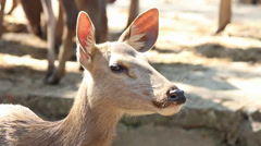 Deer head with large ears and without horns, chewing Stock Footage