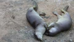 Two oriental small-clawed otter rolling on the ground in the zoo Stock Footage