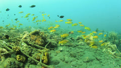 Snapper fish on Shipwreck Stock Footage