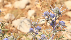 Blue Dalmatian Thistle 2 Stock Footage