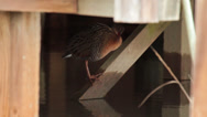 Stock Video Footage of CALIFORNIA CLAPPER RAIL Endangered Species Perched Preening Shaking 11